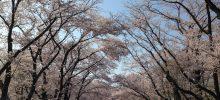 狭山稲荷山公園桜散策とサイボクハムBBQ報告